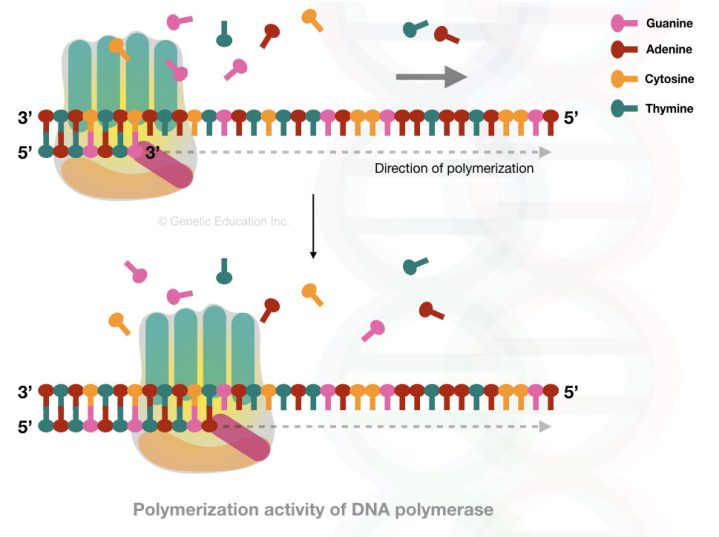 The polymerization activity of DNA polymerase