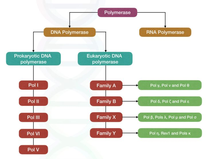 Classification of polymerase