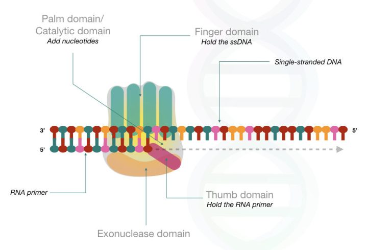 The hypothetical structure of DNA polymerase.