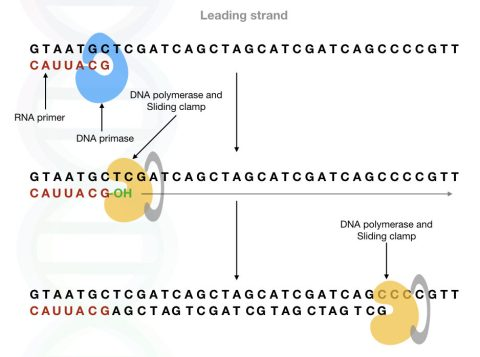 The primase synthesises the RNA primer which provides the 3'OH group to the DNA polymerase.