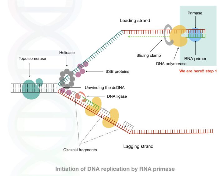 The general process of DNA replication