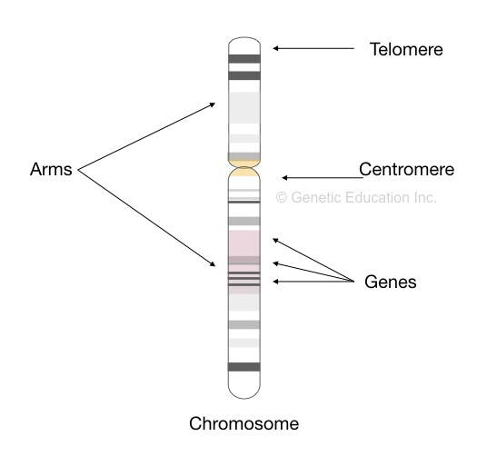 The location of genes on a chromosome.