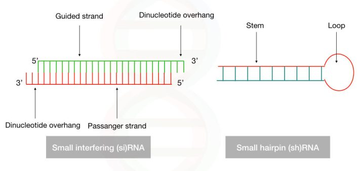 The structure of shRNA and siRNA