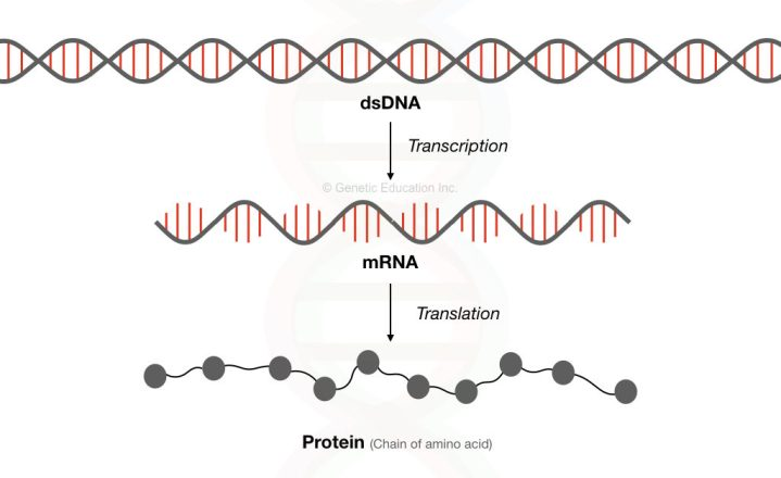 Graphical illustration of the process of transcription and translation.