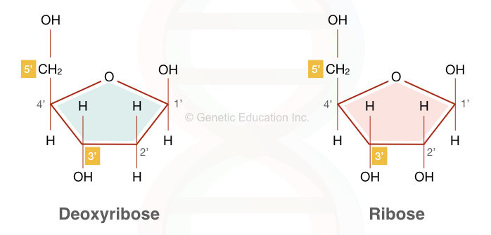Deoxyribose and ribose in DNA and RNA, respectively.