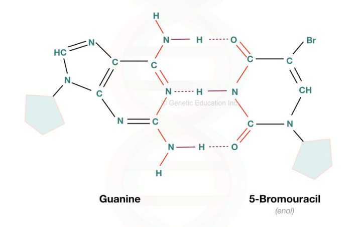 The bromouracil replaces the adenine and pairs with the guanine during replication.