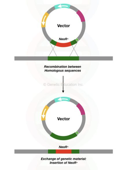 The process of homologous recombination between the target sequence and gene of our interest.