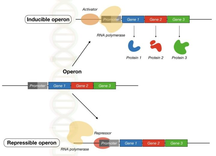 Regulation of gene expression in prokaryotes via inducible and repressible operon.