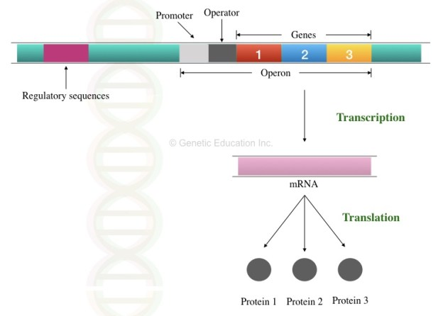 The graphical illustration of operon