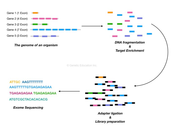 The process of whole-exome sequencing.