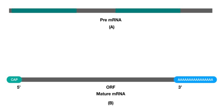 Difference between mRNA and mature mRNA with poly A tail.