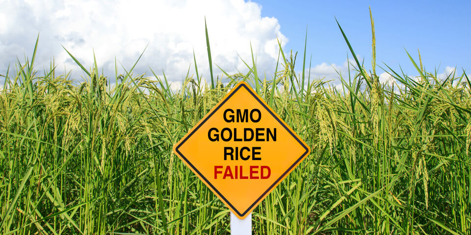 Golden Rice in India: Is it necessary? What are impediments to ...