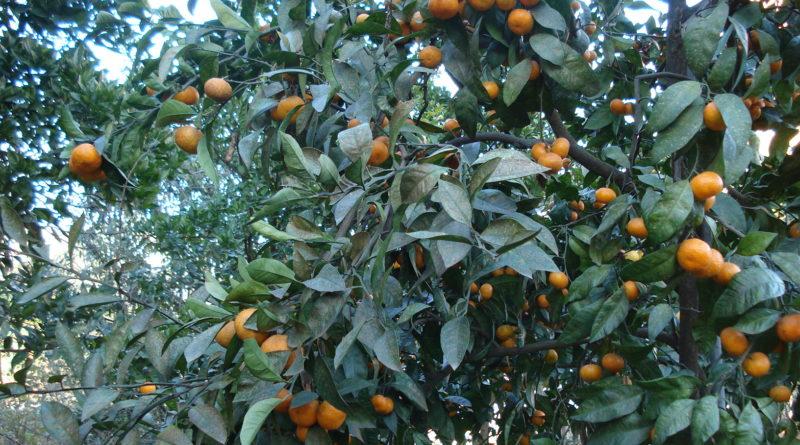 Comment Proceder A Une Taille D Un Mandarinier