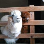 トムソーヤ牧場の見どころ!かわいい動物と思いきりふれ合うには!