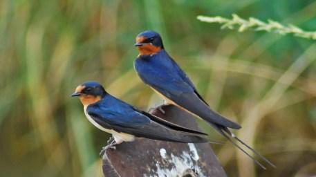 barn-swallow1