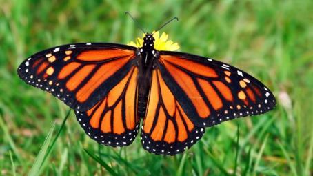 monarch-butterfly-grass.jpg.adapt.945.1