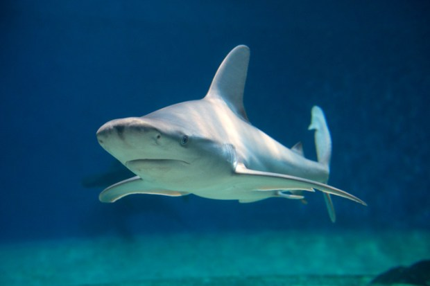 squalo grigio Acquario