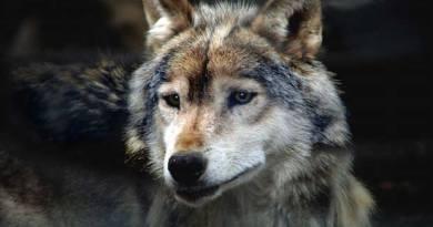 Liguria, aumentano i lupi, individuati anche nel parco delle mura, sul Righi
