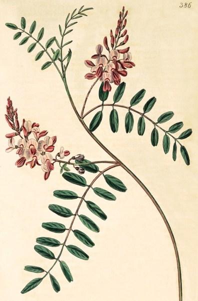 indigofera tinctoria