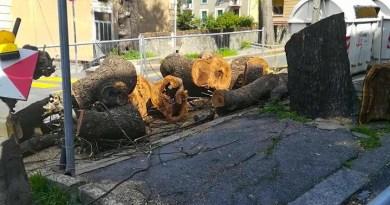 """Nido sugli alberi di viale Canepa, De Ferrari (M5S): """"Fermare i lavori e rivedere il progetto"""""""