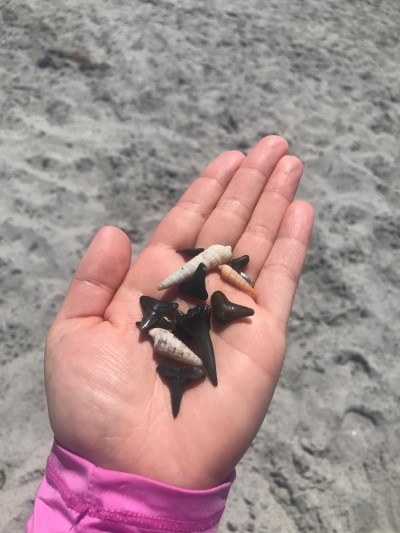 fossilized shark teeth in Venice, Florida
