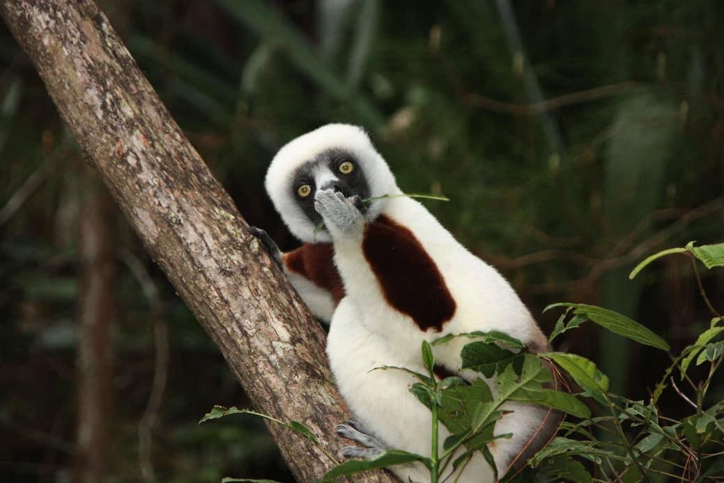 """Astonished Lemur"" autor Jakob Strecker"