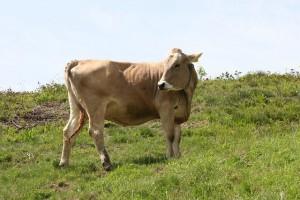 cow-269092_640