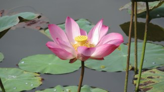 Lotus flower - Gardens by the Bay