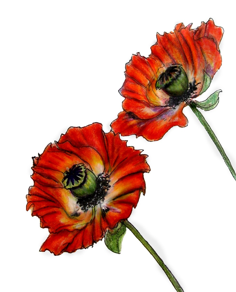 A Pair of Oriental Poppies