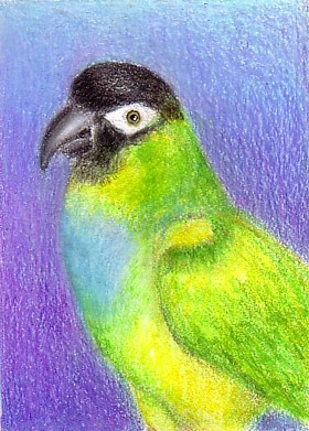 nanday conure drawing