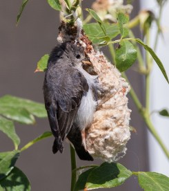 Female Mistletoebird nest-building, Strangways, 11th December 2015.