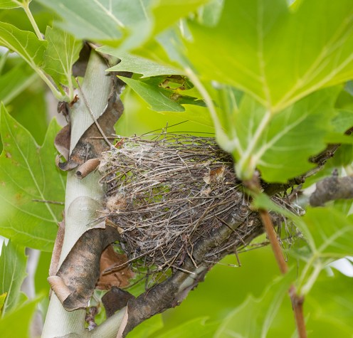The partly dismantled Rufous Whistler nest, 7th December 2015.