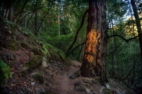 Glowing-bark-Muir-Woods