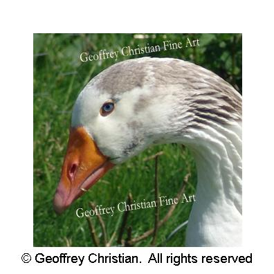 goose, goose head, animal, photography
