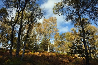 Birch on the bank
