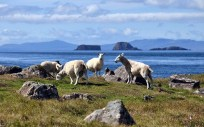 Sheep and islands