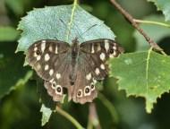 Woodland brown