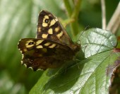 Speckled Wood 2