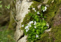 Wood sorrel growing on fallen birch