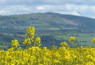 A yellow view to Brown Clee