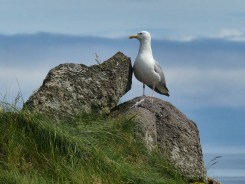 Rock and gull