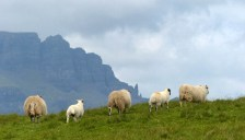 Sheep and the Storr