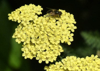 Yellow with bee