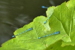 Dozens of damselflies