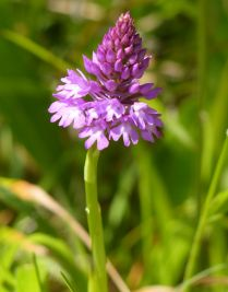 Pyramid orchid