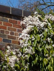 Blossom against the wall