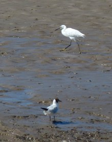 Egret and gull