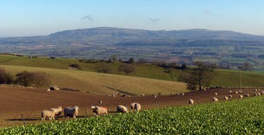 Sheep and Brown Clee