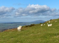 Sheep and Wrekin