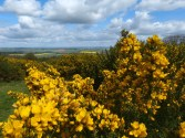 Gorse, of course